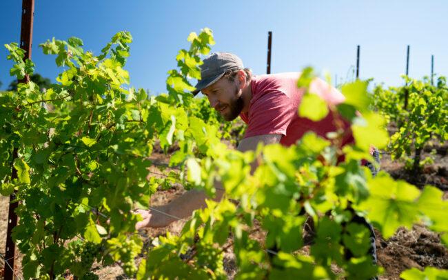 Vineyard inspection at Brittan Vineyards